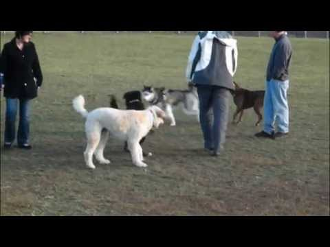 Trained Pit Bull Breaks-up Dog Fight - Dog Whisperer BIG CHUCK MCBRIDE - DOG INTERVENTION