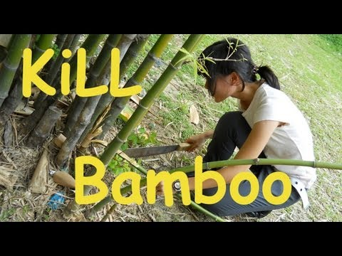HOW TO GET RID OF BAMBOO from your yard!