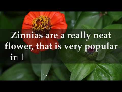 Facts about Zinnia Flowers