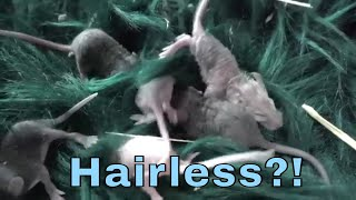Did I Breed Spontaneous Hairless Mice?!!