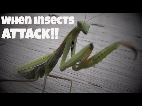 Praying Mantis and Insects Attack