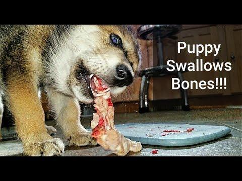 Puppy Swallows RAW Chicken Bones!!! What Happens?