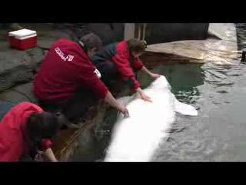 Pregnant Beluga B-Roll