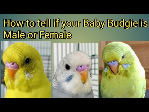 How To Tell If Your Baby Budgie is a Male or Female