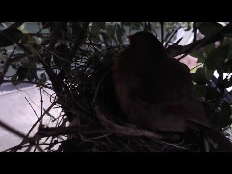 Virginia Highlands Cardinal Nest/Feeder Cam