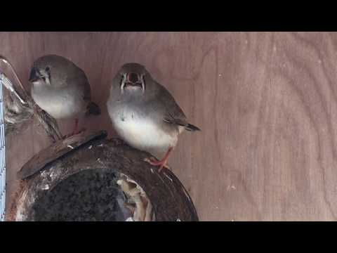 Baby Finches Changing Beak Color