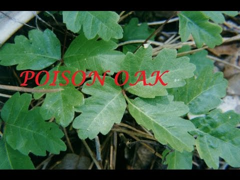 How to Prevent Poison Oak when Working in the Yard