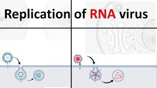 replication of RNA virus