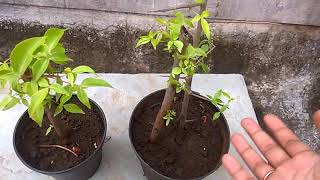 How to grow Bael from cuttings without rooting hormone (update) 5/9/17