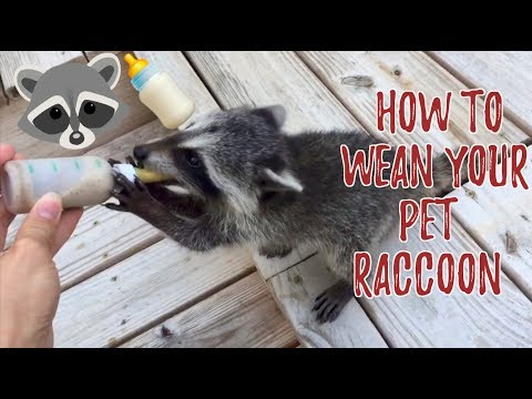 How to Wean a Pet Raccoon