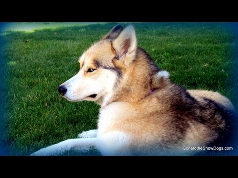 Do Electric Dog Fences Work for Huskies? FAN FRIDAY #110