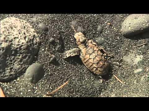 Baby sea turtles hatch, have Hawaiian help