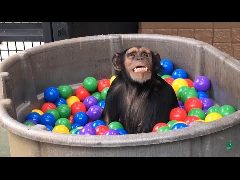 Former Research Chimps Have Time of Their Lives in Ball Pit