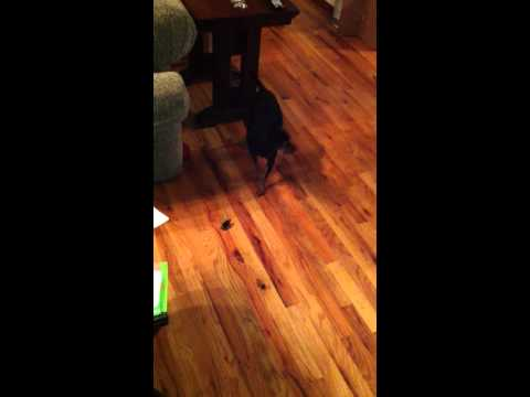 Dog Chases Roach