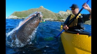 Seal Slaps Man With An Octopus