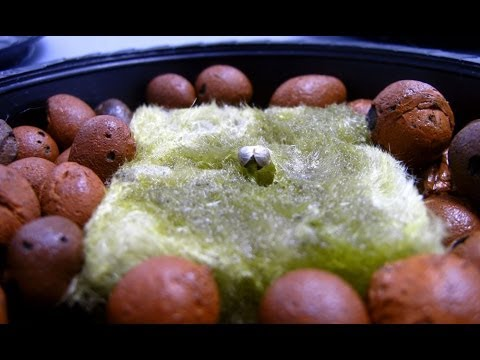 Transfering Seedlings from Rockwool to Hydroponic System