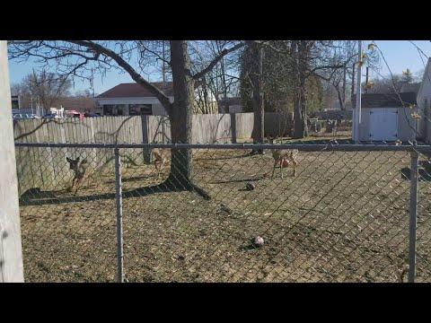 Deer in Backyard Jump Huge Fence    ViralHog