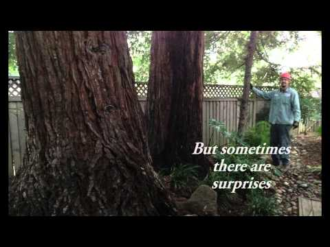 How fast does a REDWOOD GROW ?