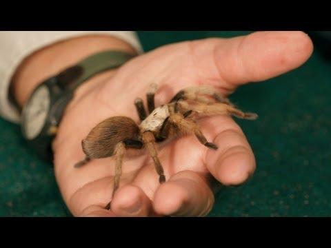 3 Best Tarantula Breeds for Beginners   Pet Tarantulas
