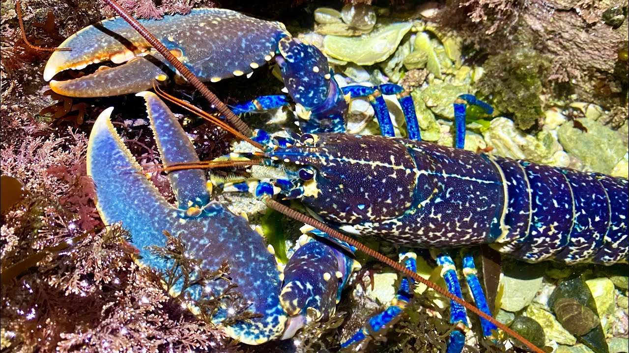 Coastal Foraging at Night - Lobsters, Huge Crabs, Catshark and other Sea Creatures - Lobster Cook-up