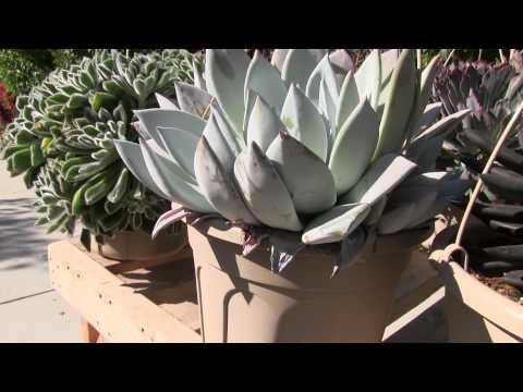 Tender Succulents: Part 1