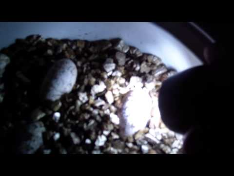 Leopard Gecko Eggs Update and Candeling