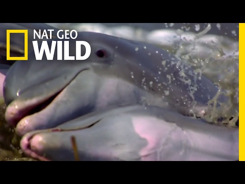 Dolphins Take Hunting to the Next Level   Deep Sea Killers