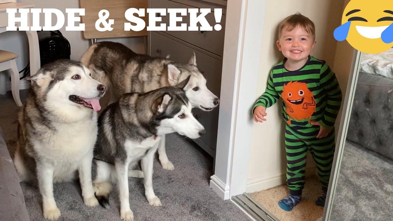 Hilarious Hide & Seek With My Huskies & Baby!! [CUTEST REACTION EVER!!]