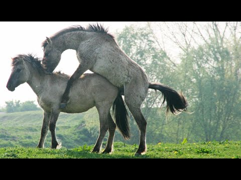 Sexe : comment fait le cheval ? - ZAPPING SAUVAGE