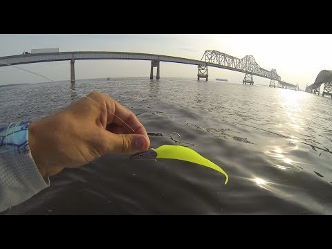 Best Striped Bass Bait in Action!