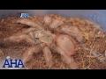 AHA!: Extraordinary characteristics of spiders