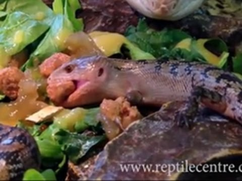 Blue-tongued Skink Giving Birth to Live Babies