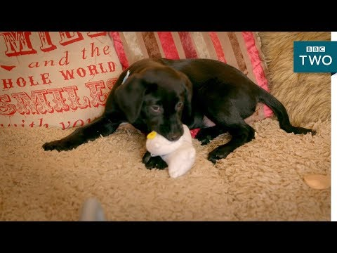 Cute puppy destroys the house - 10 Puppies and Us: Episode 4 Preview - BBC Two