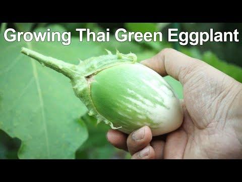 Growing Green Eggplant - Crunchy & Creamy!