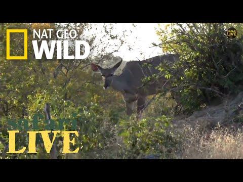 Safari Live - Day 153 | Nat Geo Wild