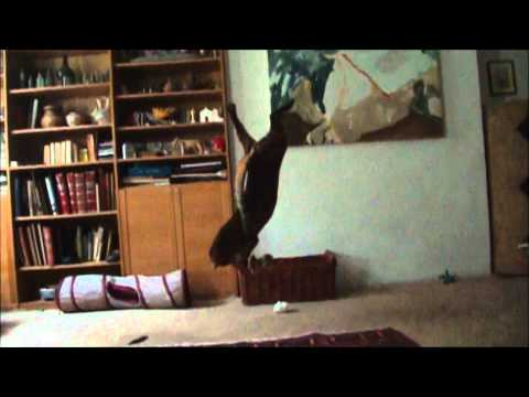 Bengal cat does perfect backflip