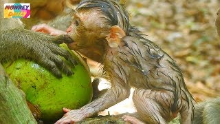 Pity to see Alex newborn starve eating food with kidnapper Pity baby much hungry Monkey Daily 792
