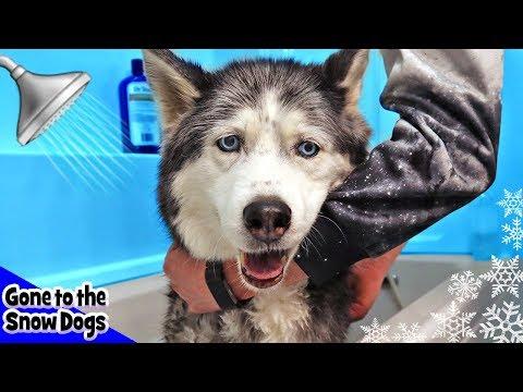 Oakley the Husky Gets a Bath | Stubborn Husky Needs a Bath | Bath Time Challenge