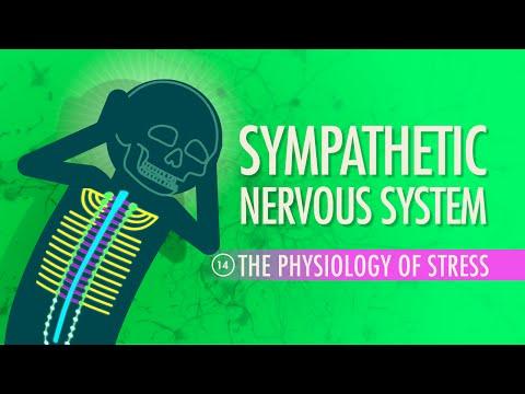 Sympathetic Nervous System: Crash Course A&P #14
