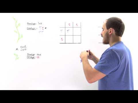 Test Cross (Determining Genotype)