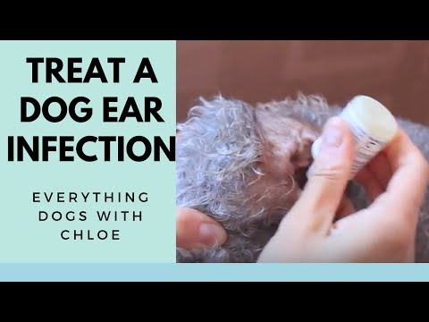 DOG EAR INFECTION TREATMENT - HOW TO TREAT