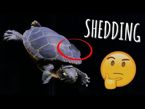 Turtle Shell Peeling? What to do during shedding! | Turtle 101