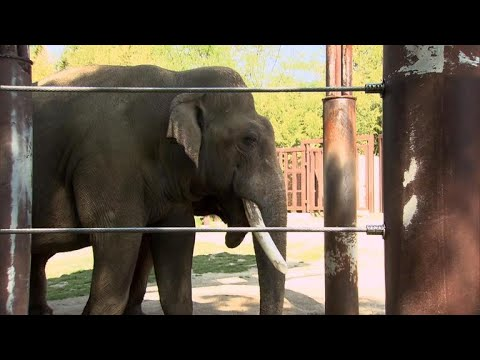 National Zoo plays matchmaker to save endangered Asian elephants