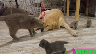 Cat Have Dog Playing with Kittens
