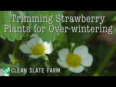 Trimming strawberry plants for over wintering