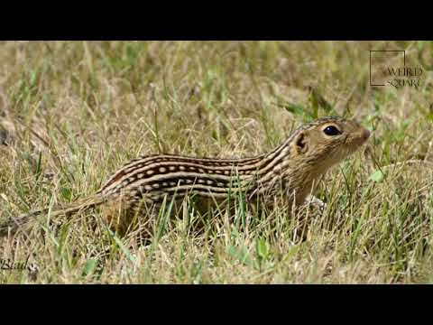 Interesting facts about thirteen lined ground squirrel by weird square