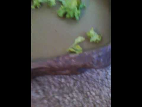 How to get your bearded dragon to eat vegetables!