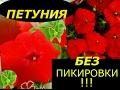 Download  ПЕТУНИЯ БЕЗ ПИКИРОВКИ СУПЕР СПОСОБ ВЫРАЩИВАНИЯ !!!  MP3,3GP,MP4