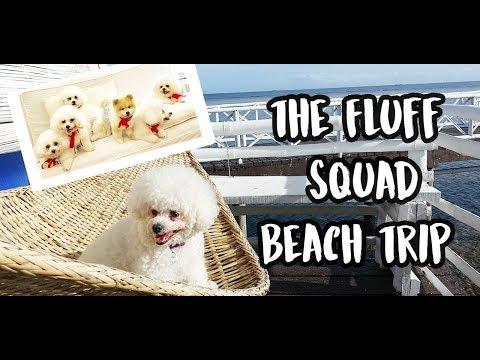 🐩 The Fluff Squad Puppy Beach Trip (5 Bichon Frise + 1 Pomeranian) | Stilts, Calatagan Beach Resort