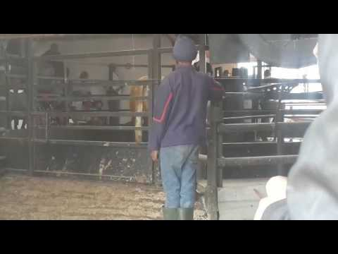 cattle auction south africa 2